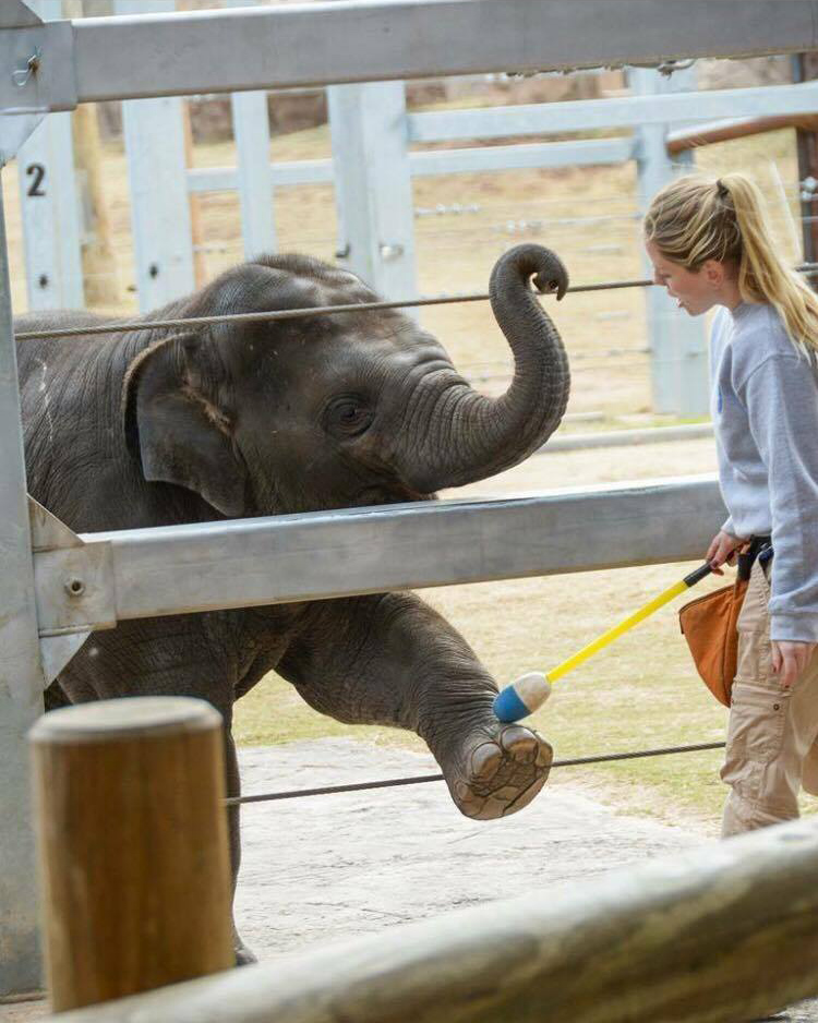 Rachel Emory target training an elephant at the Oklahoma City Zoo