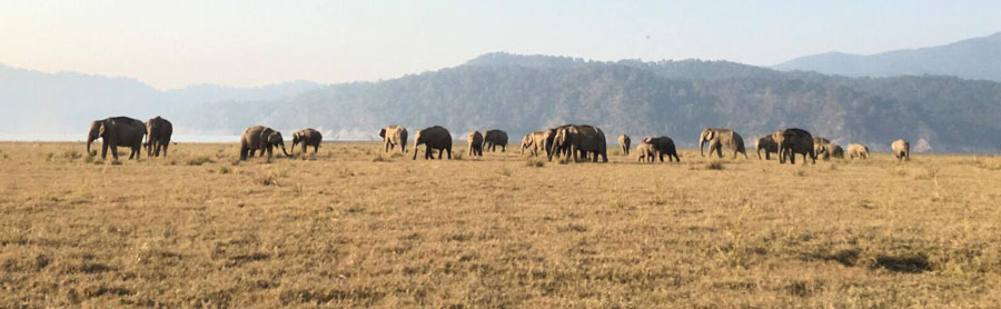 Wild elephants in India