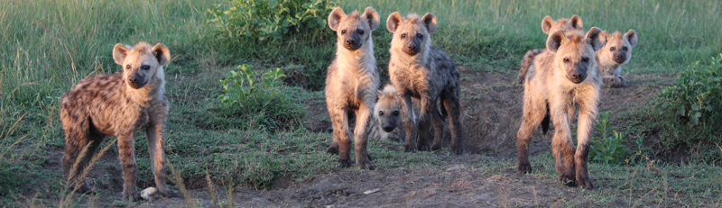 Group of hyenas. Photo credit: Maggie Sawdy.