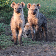 Group of hyenas. Photo credit: Maggie Sawdy