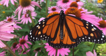 Monarch butterfly standing on flower