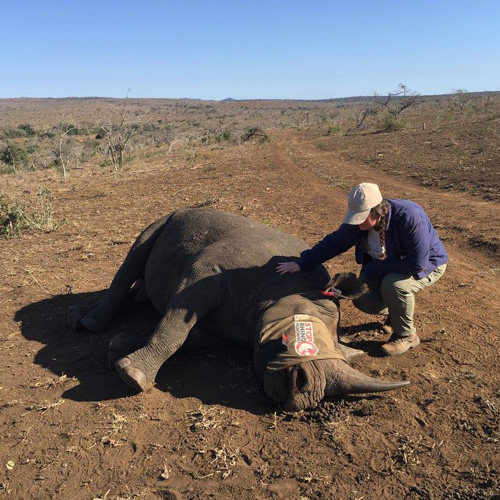 Kat Shupe kneeling next to an anesthetized rhino post-procedure for DNA Collection and ear-nothing to build an ID Kit for this Black Rhino.