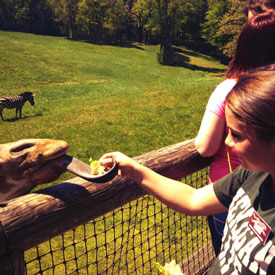 Student feeding a giraffe during Careers at the Zoo practicum.